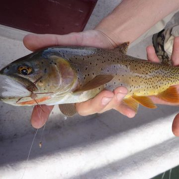 Dry Fly Dreaming