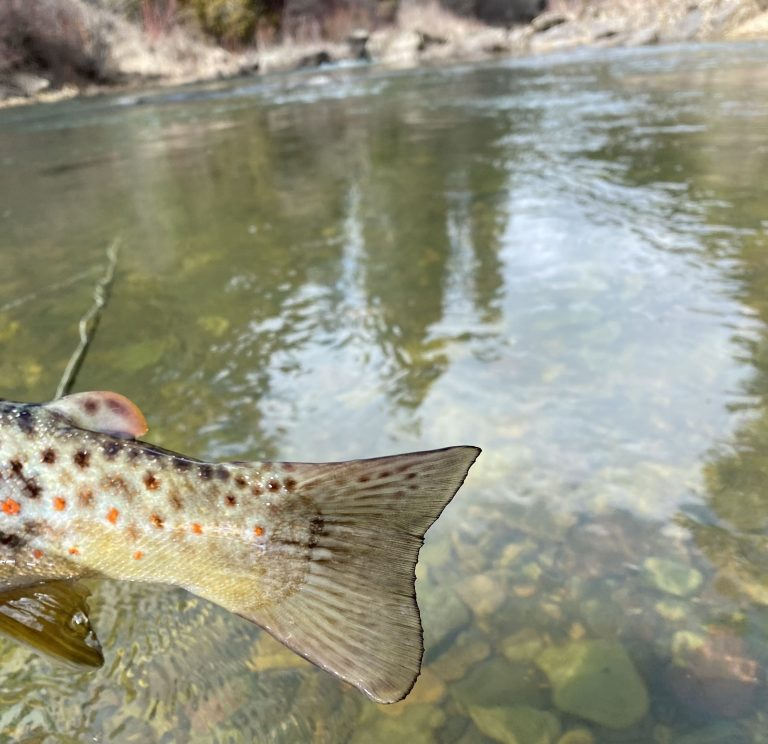 Tail of a brown trout.